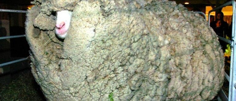 Шрек е неизвестна мериносова овца, живееща в Саут Айланд, Нова